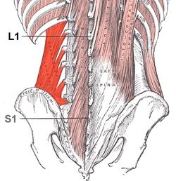 musculo cuadrado lumbar