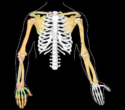 cintura escapular huesos