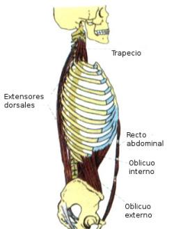 musculos posturales